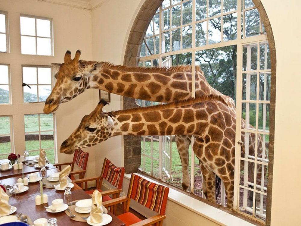 giraffe-manor-kenya3